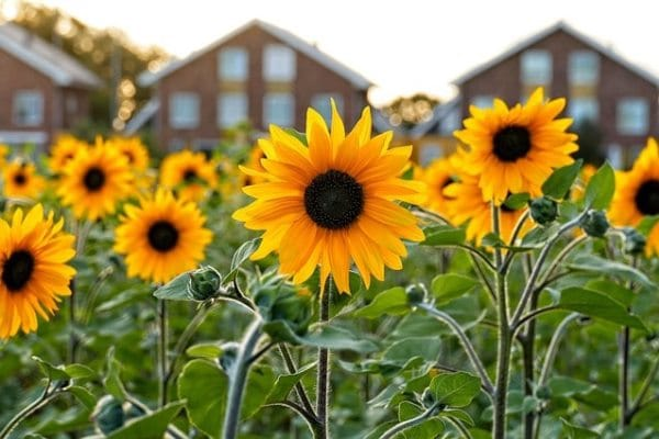 cara merawat bunga matahari agar cepat berbunga dari kuaci di pot