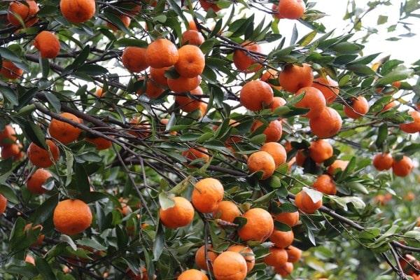 cara menanam buah jeruk
