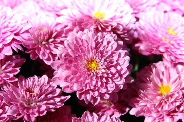 cara budidaya bunga krisan dalam pot agar selalu berbunga