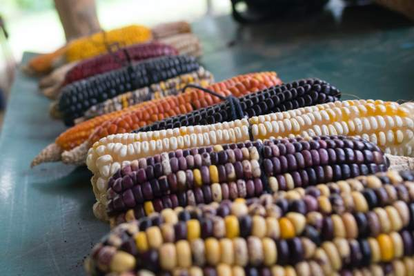 cara budidaya tanaman jagung manis agar berbuah besar