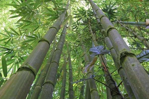 cara budidaya bambu agar cepat besar dan banyak