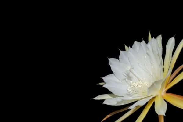 cara budidaya bunga wijayakusuma agar cepat berbunga terus