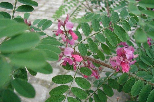 cara budidaya tanaman indigofera