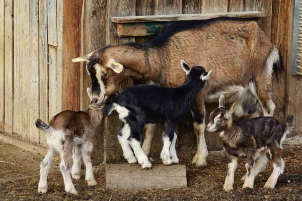 cara mengolah pupuk kandang kambing