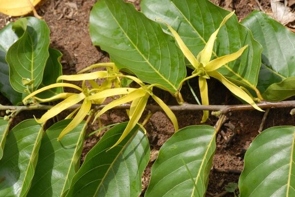 6 Cara Menanam Bunga Kenanga Dari Stek Batang Nona Tani