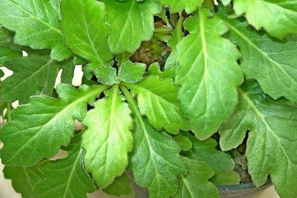 cara budidaya daun dewa