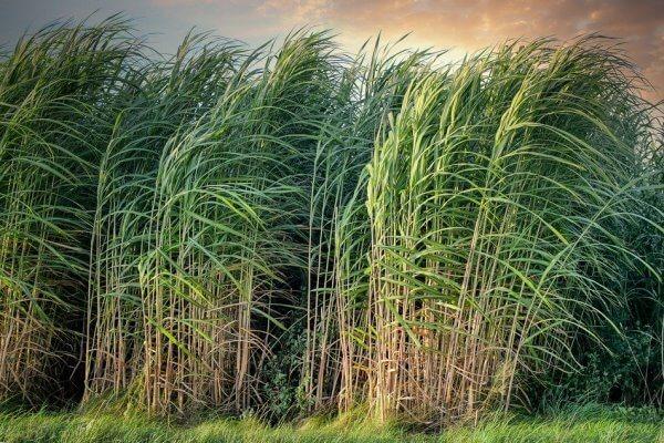 cara budidaya rumput mombaca