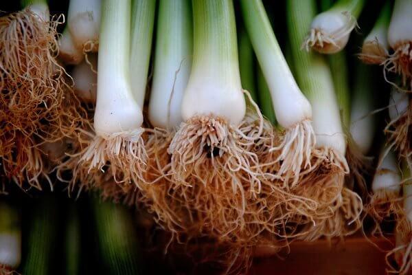 cara budidaya tanaman daun bawang
