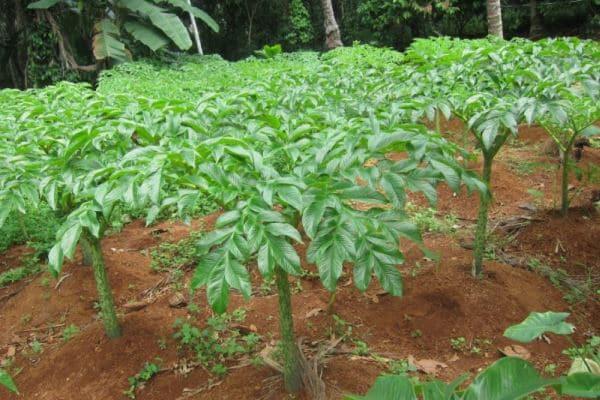 cara budidaya tanaman porang