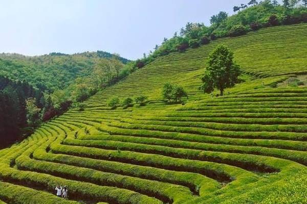 cara merawat tanaman teh