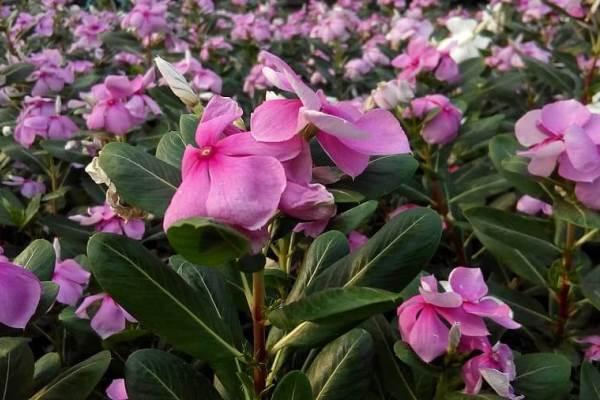 cara budidaya bunga vinca