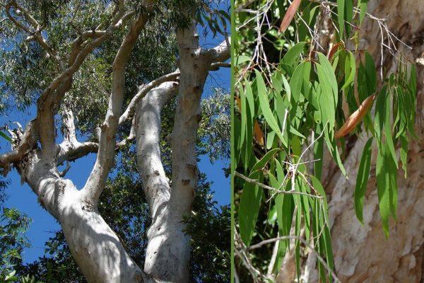 cara budidaya tanaman kayu putih