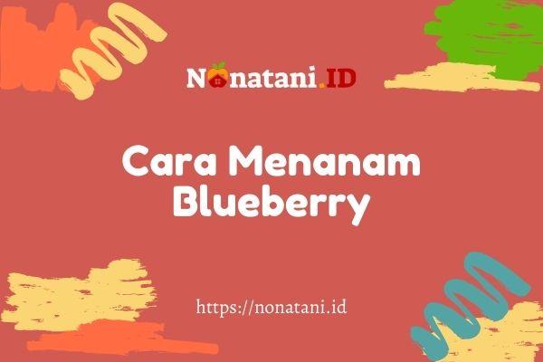 cara menanam buah blueberry