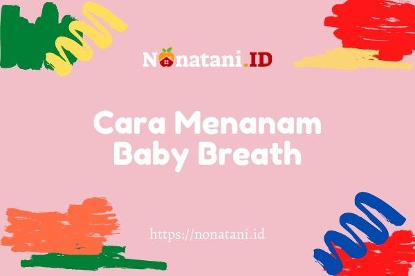 cara menanam bunga baby breath