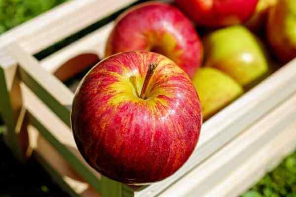 cara budidaya buah apel agar cepat berbuah
