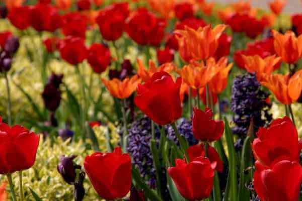 cara budidaya bunga tulip agar cepat berbunga