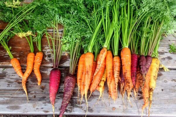cara budidaya wortel agar cepat berbuah