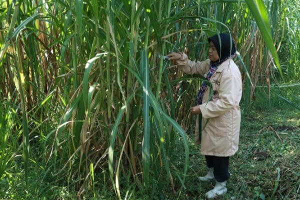 bibit dan cara menanam rumput gama umami
