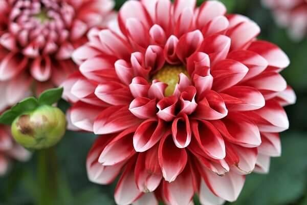 cara budidaya bunga dahlia